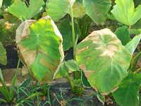 の 葉っぱ 里芋